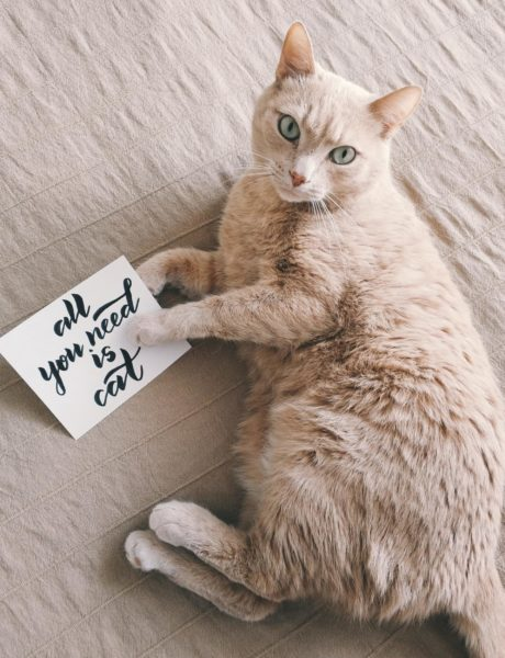 Mid coated brown cat laying down holding a sign that reads All You Need Is Cat