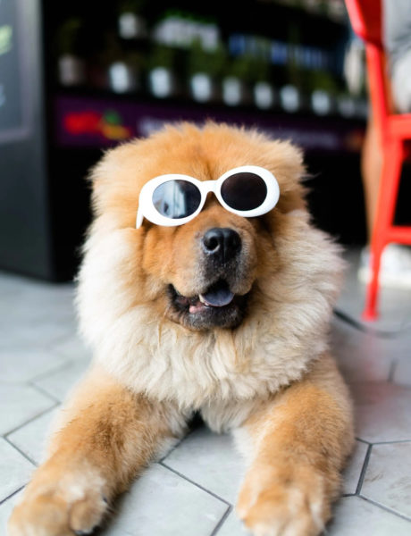 Light brown chow chow dog laying down wearing cool white sunglasses